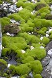 приантарктические мхи Стоковая Фотография