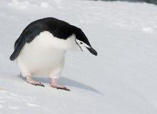 приантарктическое расстояние смотря пингвина стоковое изображение rf
