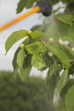 Прибор для распылять пестицид в саде Стоковая Фотография