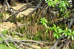 Прибрежная область леса мангров стоковое фото rf