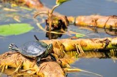 прибрежная черепаха cooter Стоковая Фотография RF