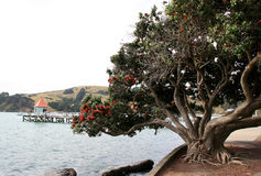 прибрежное pohutukawa Стоковое Фото