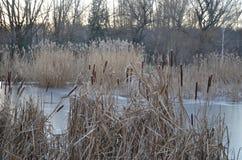Прибрежные тростник и вода озера стоковые фотографии rf