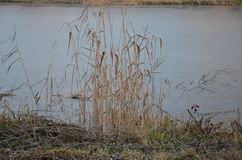 Прибрежные тростник и вода озера стоковое изображение