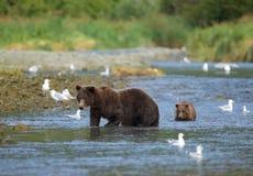 Прибрежный бурый медведь с новичком Стоковое фото RF