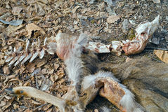Прибыли оленей 13 Стоковые Фотографии RF