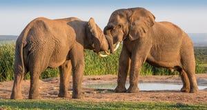 приветствие африканского слона Стоковое Изображение