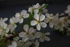Приветствие карточки предпосылки Darck весны пука вишневых цветов белых цветков Стоковое Фото