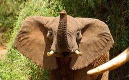 Приветствие слона Стоковое Изображение