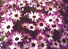 Приветствия пинка и белых цветка стоковые фотографии rf