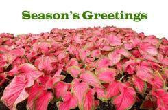 Приветствия ` s сезона с листьями Caladium Стоковое Изображение RF