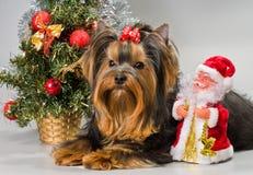 приветствует новый год yorkshire terrier Стоковое фото RF
