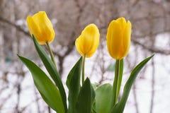 Приветствующая концепция весны 3 красивых желтых тюльпана на снеге Стоковое Изображение RF