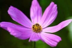Приветствующий розовый цветок Стоковая Фотография