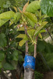 Прививать на фруктовом дерев дереве Стоковые Изображения