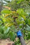 Прививать на фруктовом дерев дереве Стоковое Изображение