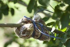 Прививок на ветви дерева тамаринда Манилы Стоковая Фотография RF