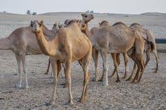 Привлекательность верблюда для туристов в пустыне в ОАЭ стоковое изображение