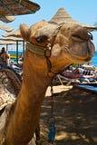 Привлекательность пляжа на перспективе Resorte Bella в Hurghada - верблюде стоковые изображения rf