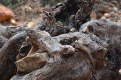 Привлекательно старомодный форма корня старой оливки как голова ` s змейки или рот ` s медведя Стоковое Изображение