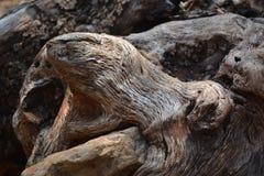 Привлекательно старомодный форма корня старой оливки как голова ` s змейки или рот ` s медведя Стоковые Фото