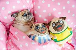 Привлекательные остатки спать собаки мопса щенка хорошо в кровати обнимая младенца Стоковая Фотография