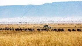 Привод сафари антилопы гну и зебры туристский стоковая фотография rf