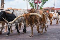 Привод скотин лонгхорна Fort Worth Техаса Стоковые Изображения RF