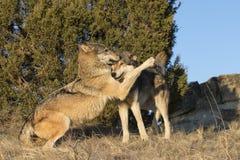 Привязанность показанная мужскими и женскими волками тимберса Стоковое Изображение RF