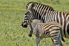 Привязанность родителя зебры Стоковые Фотографии RF