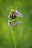 Привлекательная и экзотическая орхидея пчелы Стоковая Фотография RF