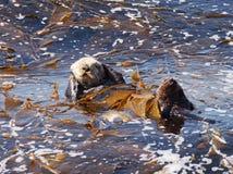 Привлекательность морской выдры Стоковые Фото