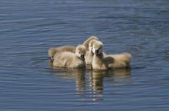 Привлекательность молодого лебедя Стоковая Фотография RF