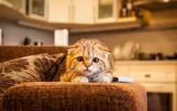 Привлекательный играть кота/котенка створки Scottish Стоковые Изображения RF