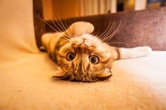 Привлекательный играть кота створки Scottish Стоковая Фотография