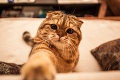 Привлекательный играть кота створки Scottish Стоковые Фото