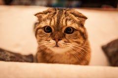 Привлекательный играть кота створки Scottish Стоковое фото RF