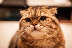 Привлекательный играть кота створки Scottish Стоковое Фото