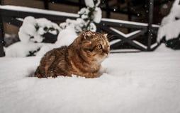 Привлекательный играть кота створки Scottish Стоковое Изображение