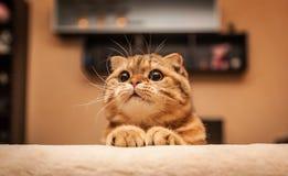 Привлекательный кот створки Scottish Стоковые Фотографии RF