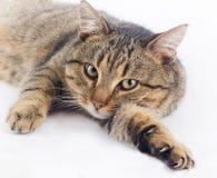 Привлекательный кот Стоковые Фотографии RF