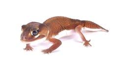 Приглаживайте ручк-замкнутых гекконовых, pilbarensis levis Nephrurus стоковые изображения