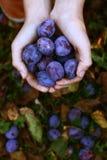 Пригорошня голубых слив жать фото стоковое фото