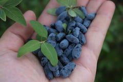 Пригорошня голубых ягод каприфолия в ладони вашей руки стоковое изображение rf