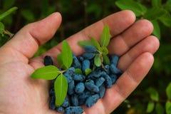 Пригорошня голубых ягод каприфолия в ладони вашей руки стоковые фото
