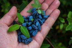 Пригорошня голубых ягод каприфолия в ладони вашей руки стоковые фотографии rf
