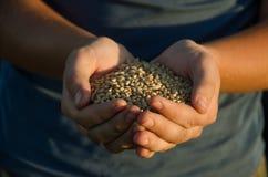 Пригорошня зерен пшеницы стоковое фото rf