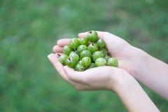 Пригорошня зрелого зеленого крыжовника леса в руках молодой женщины или девушки стоковые фотографии rf