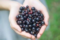 Пригорошня зрелой ежевики blackcurrant леса в руках молодой женщины или девушки стоковые фото