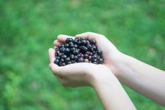 Пригорошня зрелой ежевики blackcurrant леса в руках молодой женщины или девушки стоковое фото rf